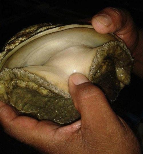 Doring Bay Abalone